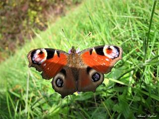 Butterfly 1602