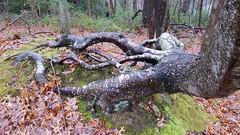 Clear Creek Metro Park (dankeck) Tags: tree roots trees woods forest ohio rockbridge fairfieldcounty clearcreek metropark southeastern