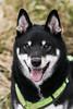 Hiyuga (blumenbiene) Tags: hund dog hunde dogs rüde male shiba inu frühling spring gassi spaziergang