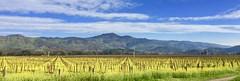 Napa Valley Winter (outdoorPDK) Tags: vineyard mustard yountvilleca napavalley