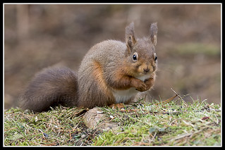 IMG_0135 Red Squirrel