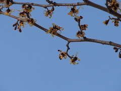 It's officially spring (nofrills) Tags: spring season flora floral nature tree trees witchhazel マンサク