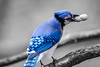 BlueJay (Beangrau12) Tags: bluejay bird selectivecoloring peanut branch tree