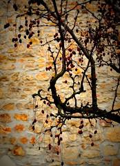 ode alle giuggiole (ceriz_83) Tags: giuggiole passeggiate febbraio arquà petrarca padova veneto albero muro pietra giardino