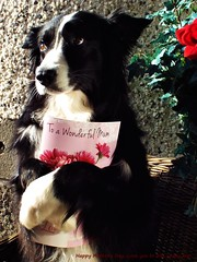 A Card for my Mom (ASHA THE BORDER COLLiE) Tags: mothers day border collie holding card adorable dog picture ashathestarofcountydown