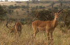 Impala (liam.ragan) Tags: animal wildlife nature creature alive life eastafrica southrift olkiramatian laleenok shompole kenya nairobinationalpark impala impalas savanna