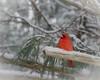 Just chilling (ashokboghani) Tags: cardinal winter snow backyard acton massachusetts newengland bird