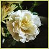 Carnation. #Takoma #dc #dclife #washingtondc #iphone #iPhonemacro #macro  #flower #flowersofinstagram (Kindle Girl) Tags: iphone takoma dc dclife washingtondc iphonemacro macro flower flowersofinstagram