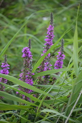 Purple Loosestrife (Worthing Wanderer) Tags: norfolk summer sunny cloudy farmland ludham howhill windmill august