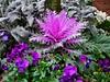 purple arrangement (Bgmini1) Tags: fremont panasonic gx85panasonic 20mm17 panasonicgx85 panasonic20mm17