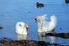 Salut ma belle, tu vis chez tes parents ? (jean-daniel david) Tags: oiseau oiseaudeau lac lacdeneuchâtel cygne duo bleu canard colvert blanc reflet fabuleuse