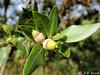Que glandes tu par là photographe ? (jean-daniel david) Tags: nature arbre chêne vert gland feuille feuillage closeup chênevert garrigue duo