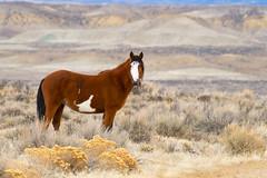 Wild Beauty (Amy Hudechek Photography) Tags: sandwashbasinwildhorses colorado winter wild horse nature wildlife january amyhudechek nikond500 nikon200500f56