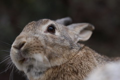 20180106_IMG_6156 (NAMARA EXPRESS) Tags: animal rabbit eye face okuno island cloudy daytime winter outdoor color okunoisland kasahara hiroshima japan canon eos 7d sigma 50mm f14 dg hsm art namaraexp