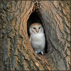Barn Owl (image 2 of 2) (Full Moon Images) Tags: wildlife nature bird prey birdofprey barn owl oak tree hollow cambridgeshire fens