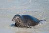 Harbor Seal at The Children's Pool in La Jolla. (LisaDiazPhotos) Tags: la jolla san diego children pool harbor seal the childrens lisadiazphotos