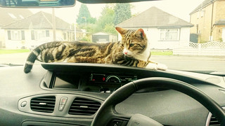 * International Cats Day 17 February / Gigi relaxing in the car *