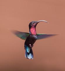 Colibiri à gorge rouge (sviet73) Tags: martinique colibri oiseau hummingbird