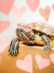 Queen of Hearts (City Turtles) Tags: dof petphotography crown pink hearts indoors glitter 50mm bokeh dslr canon reptile photography photo animal pet turtle