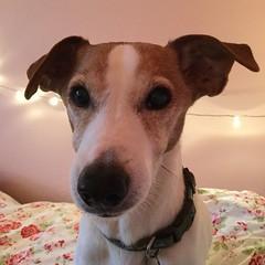 Sam (S1lverst1tcher) Tags: cutedog canine olddog jackrussellterrier dogs