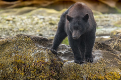 In the eyes of the beholder. (Melanie Leeson) Tags: canonef100400mmf4556lisiiusmlens canadianwildlife melanieleesonwildlifephotography mammals blackbear northamericanwildlife interestingchoices canon britishcolumbiawildlife blingsister ursusamericanus scruffy dlsr z