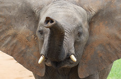 Curious ... (AnyMotion) Tags: africanelephant afrikanischerelefant loxodontaafricana elephants elefanten young jung portrait porträt trunk rüssel sniffing schnüffelnd 2018 anymotion tarangirenationalpark tanzania tansania africa afrika travel reisen animal animals tiere nature natur wildlife 7d2 canoneos7dmarkii portraitaufnahmen ngc npc