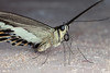Attractive Barfly - _TNY_3806 (In Explore 27/2 2018) (Calle Söderberg) Tags: macro canon canon5dmkii canonef100mmf28usmmacro canoneos5dmarkii flash meike mk300 glassdiffusor insect butterfly papilio demolion swallowtail bandedswallowtail papilionoidea papilionidae riddarfjäril vietnam phuquoc mercuryphuquocresortvillas fjäril blackwhite underside proboscis fur furry fuzz fuzzy furvest banded band stripe f13 explore explored ngc specinsect npc 5d2