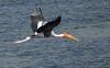 painted stork (praveen.ap) Tags: painted stork paintedstork vedanthangal vedanthangalbirdsanctuary kanchipuram tamilnadu birdinflight birding bird lake