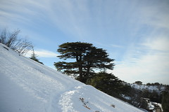 (Marwanhaddad) Tags: cedars lebanon forest