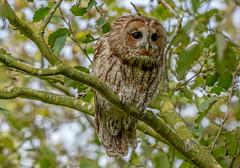 JWL0239  Tawny Owl... (jefflack Wildlife&Nature) Tags: tawnyowl owl birds avian animal wildlife wildbirds raptors prey birdsofprey owls woodland woodlands forest hedgerows clearfell barns trees