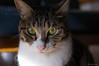 R0014403 (chitoroid) Tags: ricohgxr grlensa1250mmf25macro japan hokkaido sapporo cat