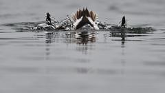 DSC_9221_edit (Hanzy2012) Tags: nikon ontario canada toronto wildlife d500 afsnikkor500mmf4difedii bird duck longtailedduck clangulahyemalis nature wild