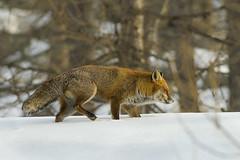 VOLPE (ric.artur) Tags: volpe animali nikon naturalmente natura piemonte