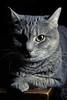 Testing the new flash (NVenot) Tags: cat cats pet pets off camera flash fuji fujinon 1855 light modifier