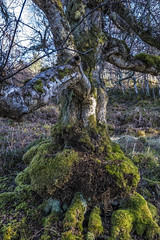 Ancient Downy Birch (prajpix) Tags: downy birch woods woodland forest trees deciduous hardwood highlands scotland invernessshire nature winter