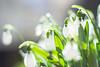 Snow Drop (ai3310X) Tags: minolta md rokkor 50mmf14 extensiontube snowdrop スノードロップ