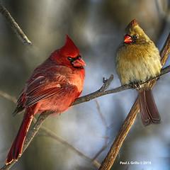The Cards    ....Happy Valentine's Day! (jackalope22) Tags: cardinals birds valentine wyth femal yeloww male red