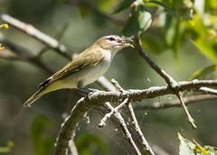 IMG_9191 Red-eyed Vireo (suebmtl) Tags: bird birding fallmigrant fallmigration presquileprovincialpark ontario canada redeyedvireo vireoolivaceus