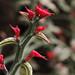 Euphorbia tithymaloides (Redbird Cactus)