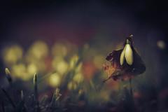 protected (_andrea-) Tags: galanthus nivalis schneeglöckchen snowdrops protect sonya7m2 planart1450 carlzeiss mount winter lowpov bokehjunkie bokehs bokehshots mood objektiv outdoor