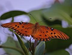 Wings Spread (ACEZandEIGHTZ) Tags: closeup nature nikon d3200 gulf fritillary mariposa orange spots insect flying bokeh vanillae agraulis