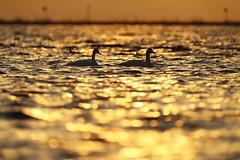 Swan (Teruhide Tomori) Tags: nature wild bird japan japon water shiga lakebiwa sky 琵琶湖 日本 渡り鳥 冬鳥 aquaticbird 水鳥 湖北 コハクチョウ 雁 野生動物 自然 ネイチャー 水 滋賀県 swan