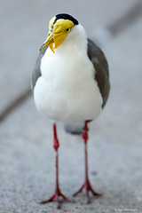 Masked Lapwing (dpsager) Tags: arizona bird dpsagerphotography maskedlapwing phoenix phoenixzoo zoo zoosofnorthamerica