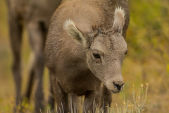 By the hair on my chinny chin chin (ChicagoBob46) Tags: rockymountainbighornsheep bighornsheep sheep lamb yellowstone yellowstonenationalpark nature wildlife ngc npc coth5