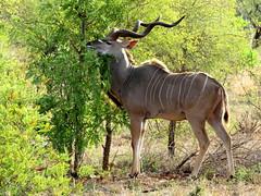 Kudu Bul (Bruwer Burger.) Tags: kudu bul coth5 sunrays5