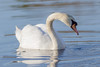 So Graceful (tresed47) Tags: 2018 201802feb 20180227newjerseybirds birds canon7d content ebforsythenwr february folder muteswan newjersey peterscamera petersphotos places season swan takenby us winter ngc