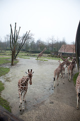 Giraffe enclosure (Going to the Zoo with Trebaruna) Tags: rotterdam rotterdamzoo diergaarderotterdam diergaardeblijdorp zoo diergaarde netherlands enclosures 2017 22122017