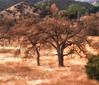 California oaks (Maureen Bond) Tags: ca oaks maureenbond bare golden fall landscape mountains malibu