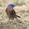 20180227_HuntingtonBeachLibraryPark_M10A5214-1_WesternBluebird (Martine Yen) Tags: huntingtonbeachlibrarypark westernbluebird