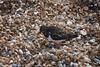 DSC_7423 (Peter-Williams) Tags: brighton sussex uk beach pier birds turnstones